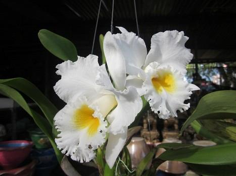 таиланд пхукет фото цветов