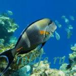 Уха из морской рыбы и жареные «попугайчики»