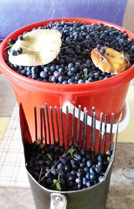 в отпуске собираю ягоду